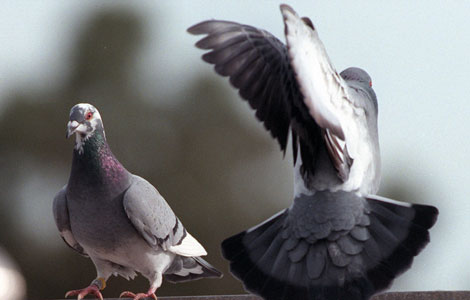American Racing Pigeon Union Part 1