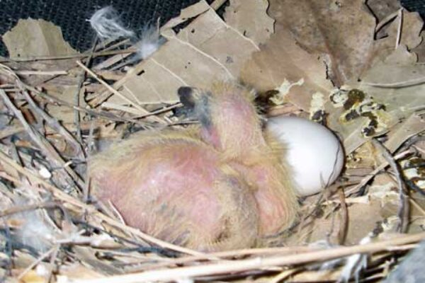 Young Birds Dying In The Nest Early