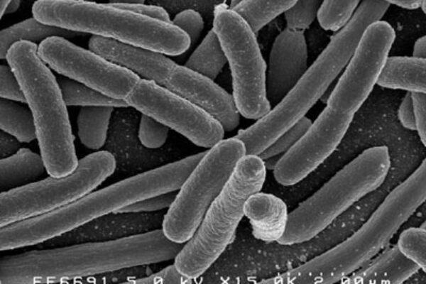 E.coli in Young Birds