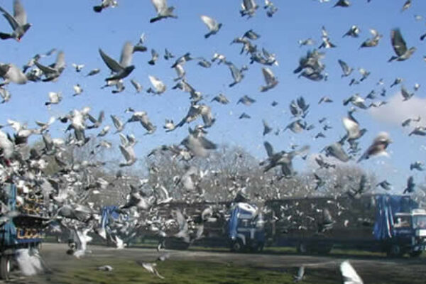 Amercian Racing Pigeon Union History and Origin Part 3