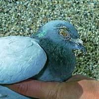 Pigeon Ornithosis