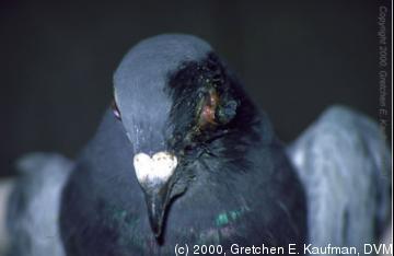 Pigeon Pox