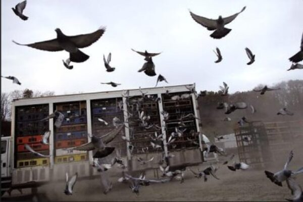 Origin and History of the American Racing Pigeon Union Part 2