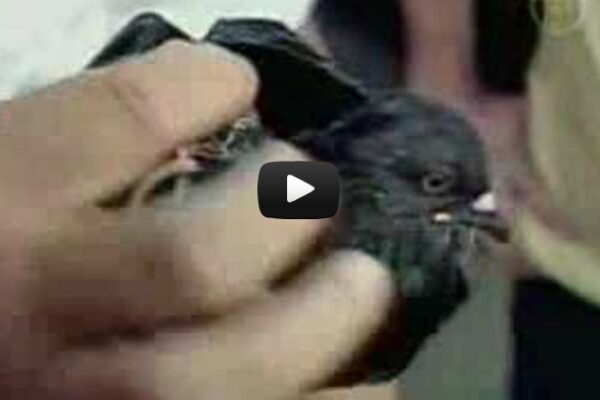 *Video* Pigeons Used to Smuggle Drugs