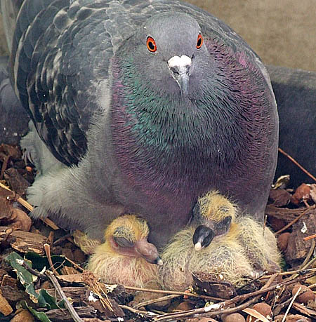 Pigeon Breeding - Correct Line Breeding, Fixing Champion Blood