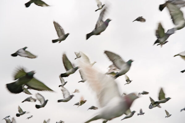 Pigeon Racing and Nutrition of the Muscle Part 5