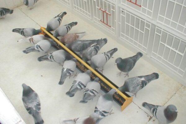 Pigeon Feeding – Feeding to Win