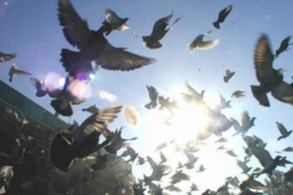 Pigeon Racing and Nutrition of the Muscle Part 2