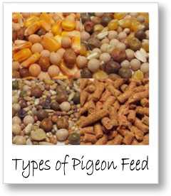 types of racing pigeon feed