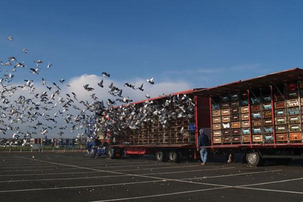 The Pigeon Loft – Healthy Pigeons Win Races! Part 1