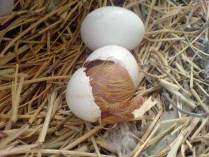 Pigeon Hatching