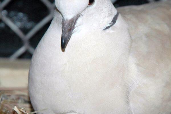 Pigeon Egg Incubation