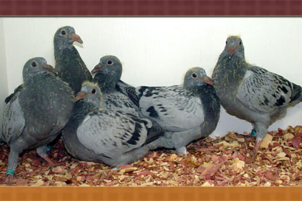 Getting Your Pigeons