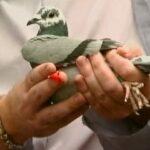 "Healthy Pigeons Win Races Part 4 ""A Realistic Health Program"""