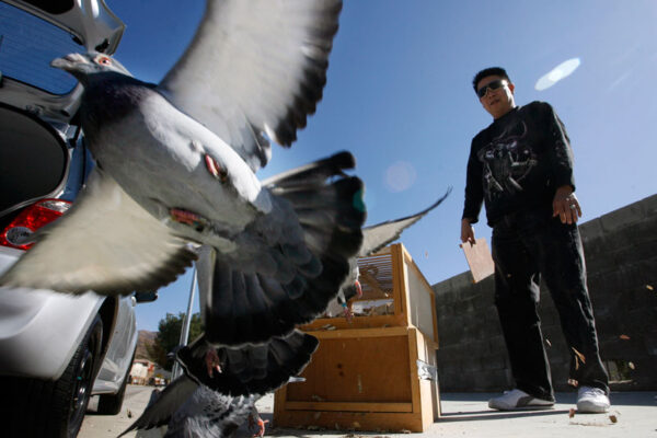Road Training and Racing Pigeons – Feed and Medication Program for Young Birds in Training