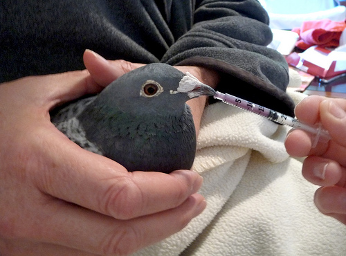 Medicating Racing Pigeons