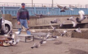 Panting in Racing Pigeons After Excercise