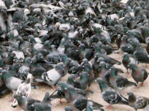 Pigeon Racing Overcrowding