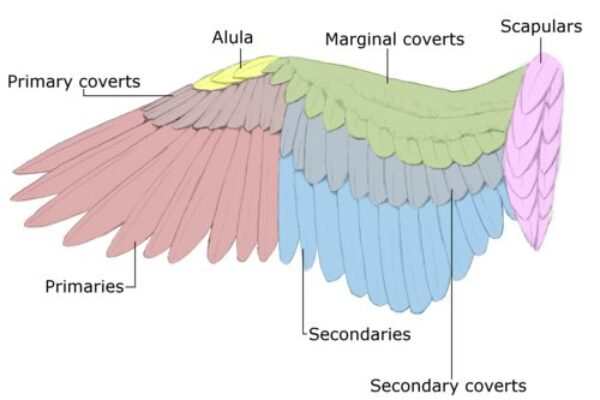 Racing Pigeon Flight and Wing Structure
