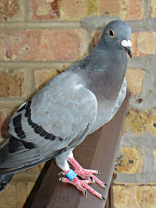 Pigeon Racing Systems