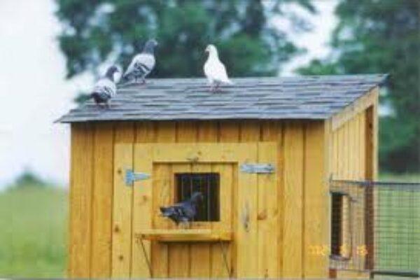 Pigeon Training Methods From Hilsea Lofts