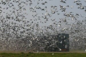 Pigeon Racing   After the Race is over