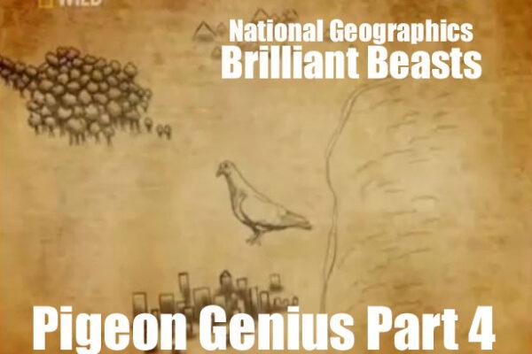 Brilliant Beasts: Pigeon Genius Part 4/4