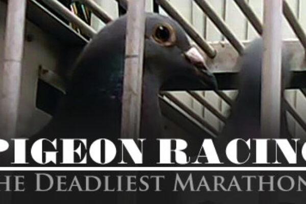 PETA at it Again – Investigation Exposes Pigeon-Racing Cruelty