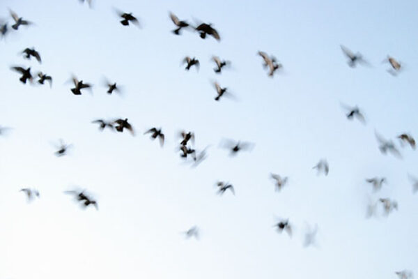 Pigeon Racing: The Decline of Long Distance Racing