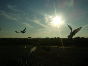Tossing Racing Pigeons