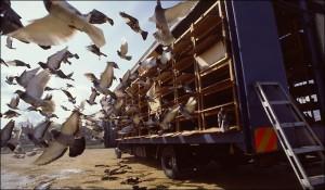 training racing pigeons to break
