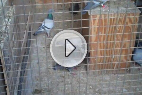 *Video* Weaning Baby Racing Pigeons