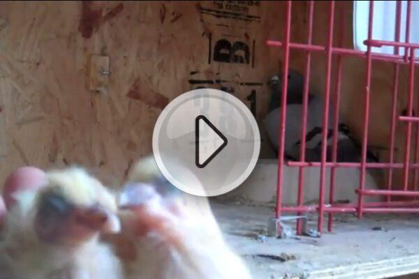 *Video* Grading Baby Racing Pigeons