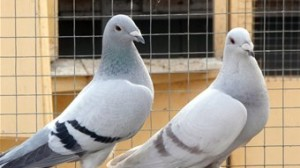 breeding racing pigeons methods for selecting breeders