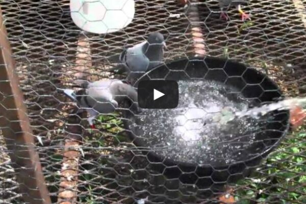 *Video* Water, and Important Ingredient to a Racing Pigeon