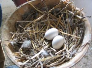 racing pigeon eggs