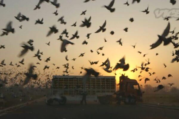 *Video* China's Million Dollar Pigeon Sport