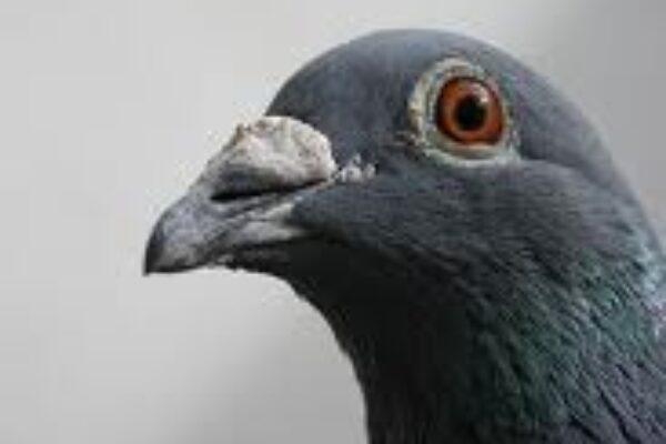 What's Killing Pigeon Racing?