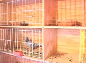 pigeon racing and the importance of nestboxes