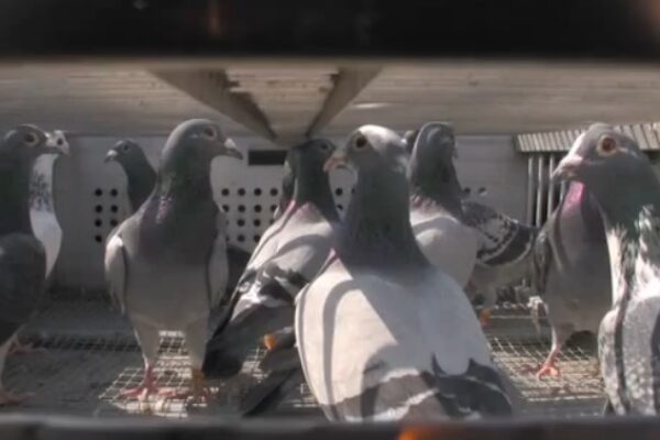 Resistance Training Technique For Your Racing Pigeons