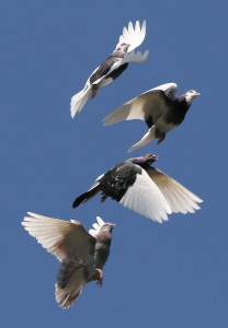 whats killing pigeon racing results