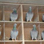 Hen Racing Pigeons