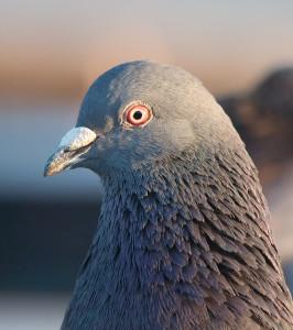 Natural racing pigeon system