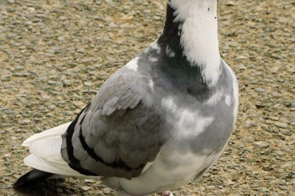 Long Distance Pigeon Racing Takes Patience