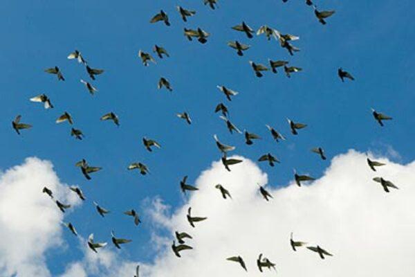 Different Method's of Racing Pigeons (Part 1)