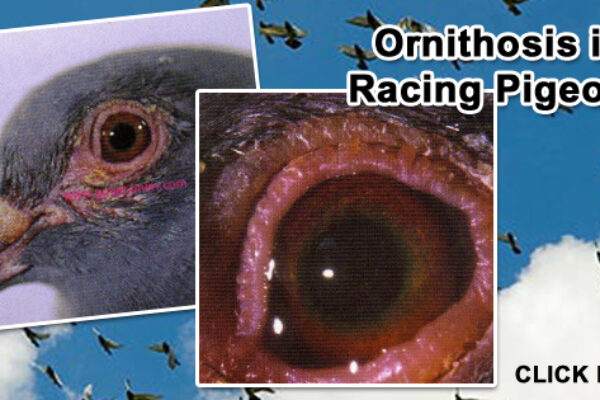 Ornithosis In Racing Pigeons