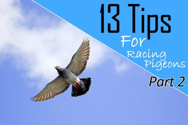 Tips For Racing Pigeons Part 2