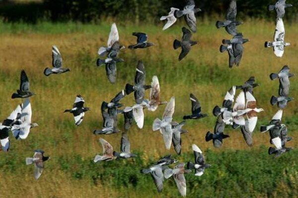 Breeding Racing Pigeons is Easy