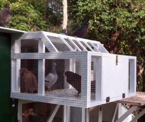 Medicating, Feeding and Training Racing Pigeons for Racing