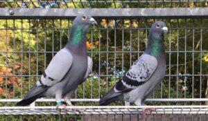 Keeping racing pigeons healthy Tom DeMartino